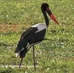 Jabiru d'Afrique