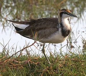 Jacana à longue queue