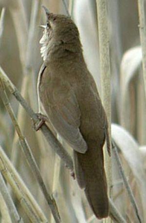 Locustelle luscinioïde