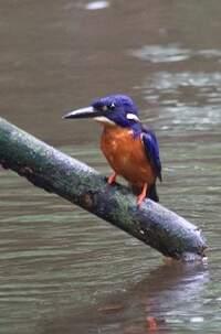 Martin-pêcheur azuré