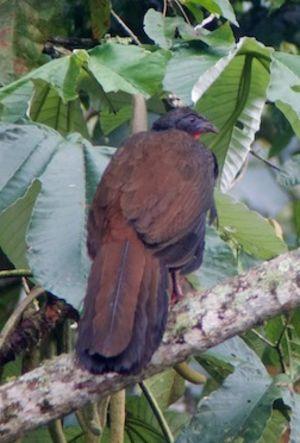 Pénélope de Cauca