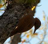 Pic brun