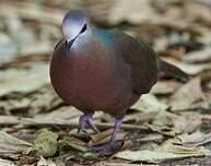 Pigeon à masque blanc