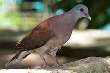 Pigeon de Madagascar