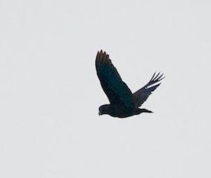 Pione noire
