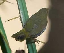 Sénégali vert