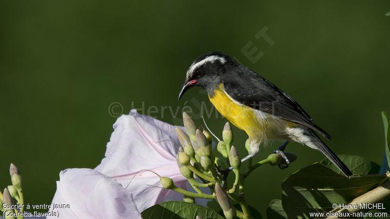 Sucrier ventre jaune ref hemi13233 for Oiseau ventre jaune