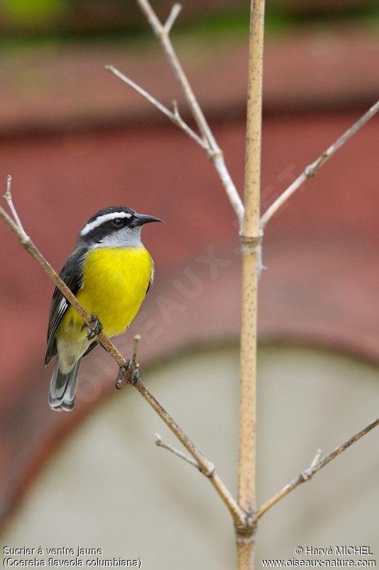 Sucrier ventre jaune ref hemi164889 for Oiseau ventre jaune