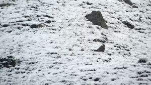 Tétraogalle de l'Himalaya