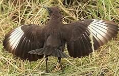 Traquet brun