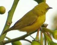 Zostérops jaune