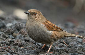 Japanese Accentor