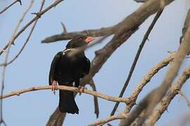 Red-billed Buffalo Weaver