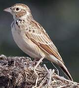 Indian Bush Lark