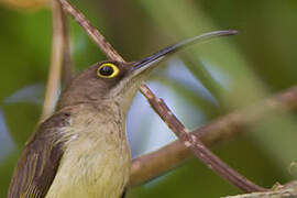 Pale Spiderhunter