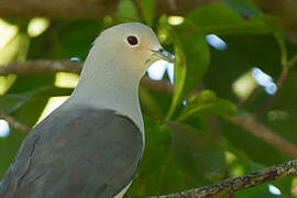 Grey Imperial Pigeon