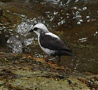 White-capped Dipper