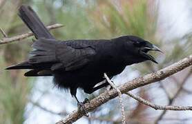 Hispaniolan Palm Crow