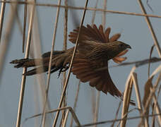 Coucal rufin
