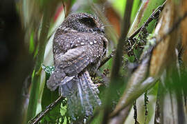 Mountain Owlet-nightjar