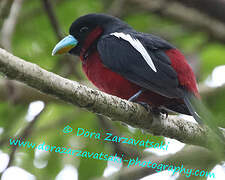Black-and-red Broadbill