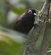 Reddish-winged Bare-eye