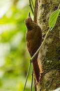 Amazonian Barred Woodcreeper