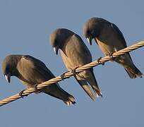 Ashy Woodswallow