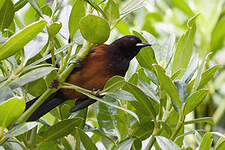 Martinique Oriole