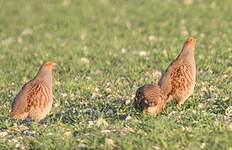 Grey Partridge