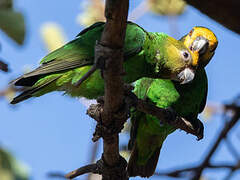 Yellow-fronted Parrot