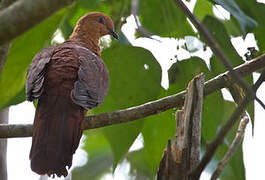 MacKinlay's Cuckoo-Dove