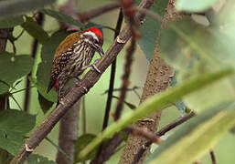 Abyssinian Woodpecker