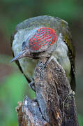 Iberian Green Woodpecker