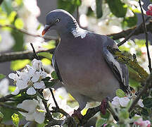 Common Wood Pigeon