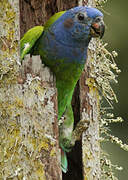 Blue-headed Parrot