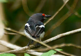 Brown-throated Wattle-eye