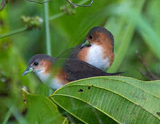 Rufous-sided Crake