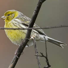Atlantic Canary