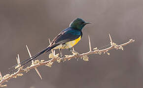 Nile Valley Sunbird