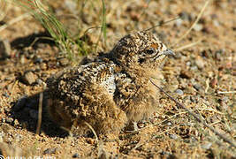Pallas's Sandgrouse