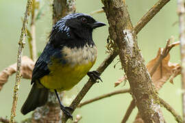 Buff-breasted Mountain Tanager