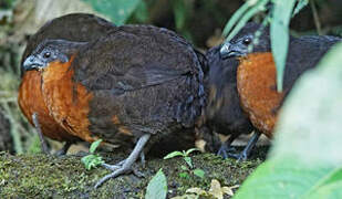 Dark-backed Wood Quail