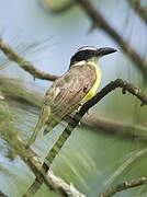 Boat-billed Flycatcher