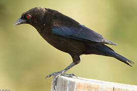 Bronze-brown Cowbird
