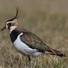 Northern Lapwing