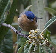 Tit-like Dacnis
