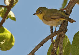 Abyssinian White-eye
