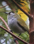 Reunion Olive White-eye