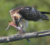 Balbuzard pêcheur